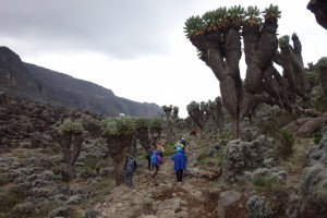 Giant Senecios on-route to Baranco Camp