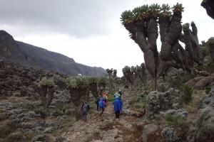 Giant Senecios on-route to Baranco Camp