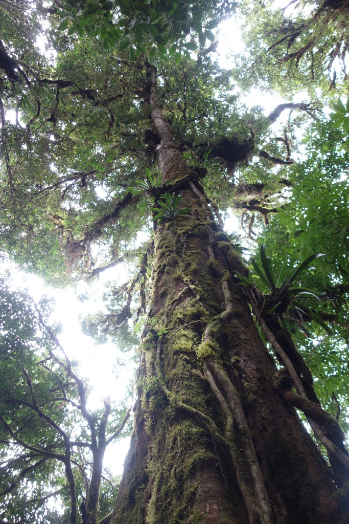 Abundance of mosses, epiphytes and lianas in the cloud forest
