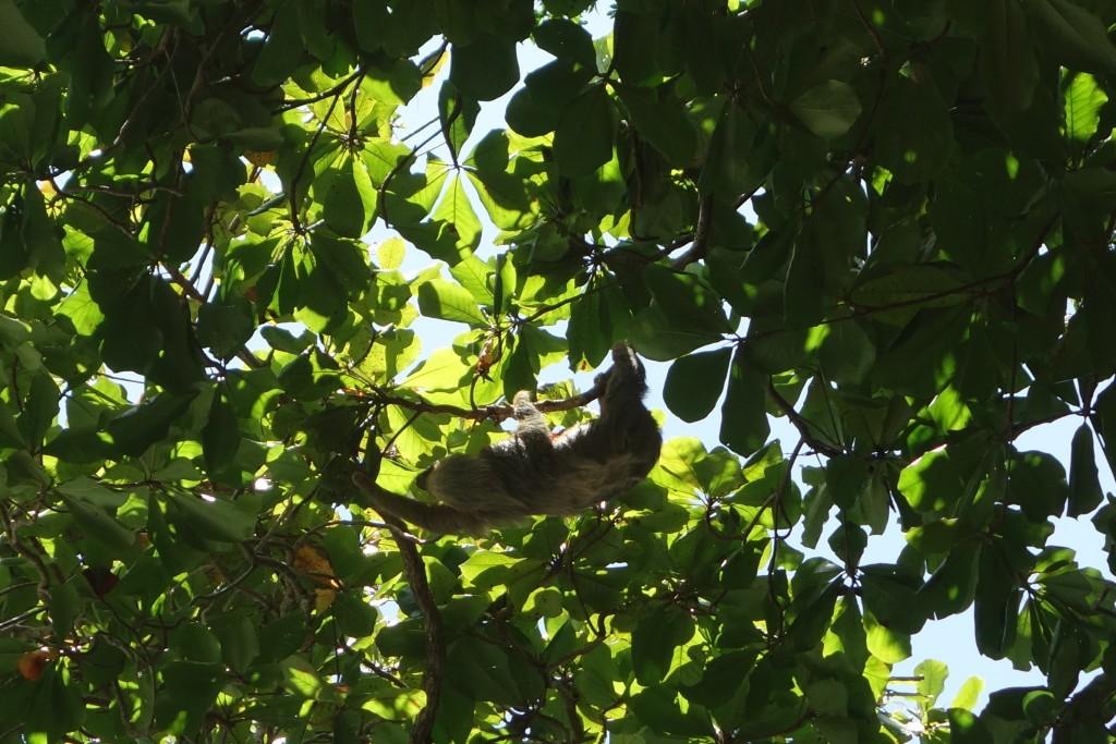 The three -toed sloth at Manuel Antonio